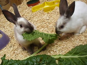 rabbit-greens